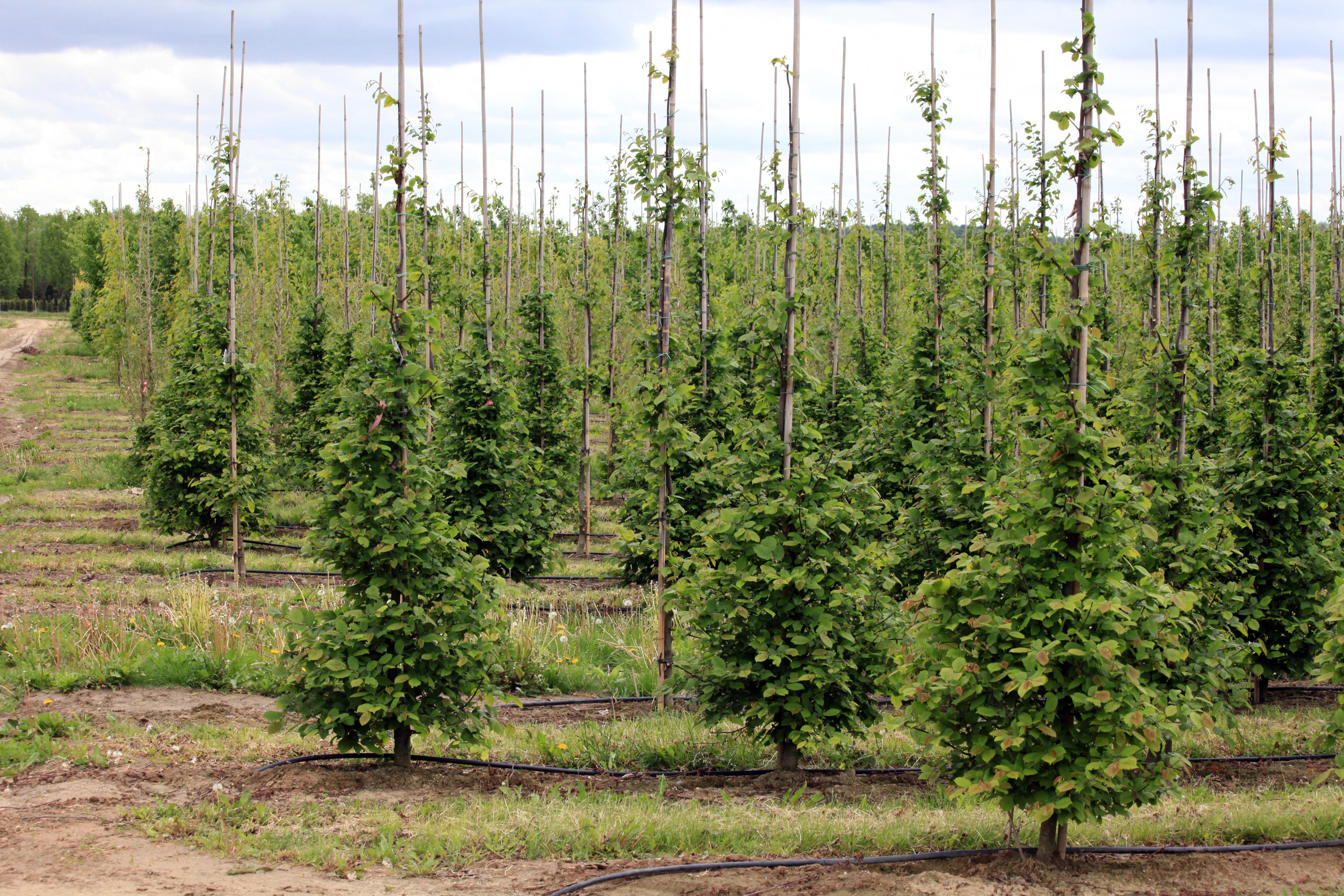 Gemeinsam für mehr Bäume in Singen